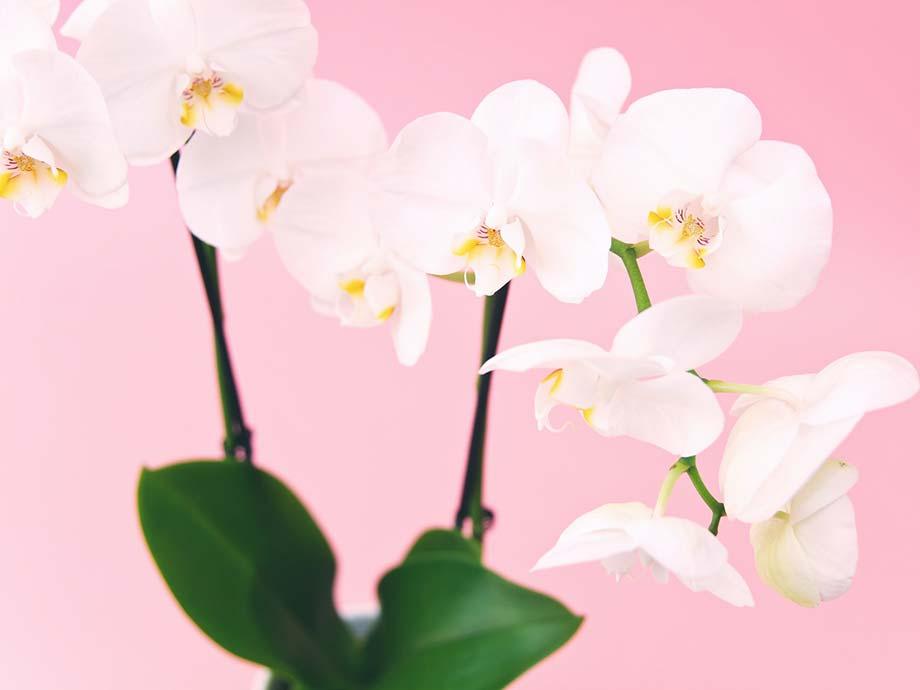 Orchidee Fiori più belli matrimonio